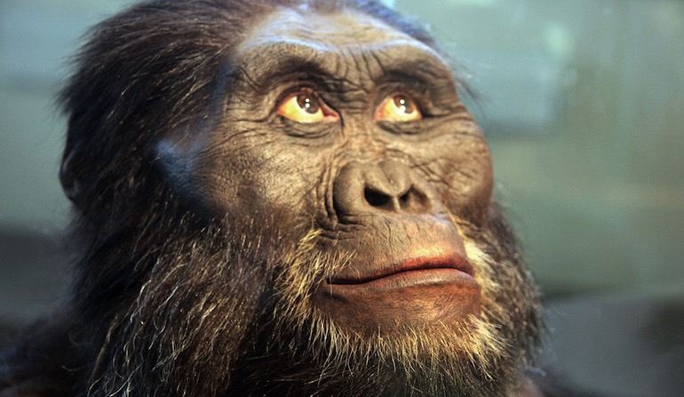 Australopithecus afarensis adult male from The Smithsonian Museum of Natural History 2020