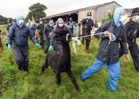 Geronimo the alpaca killed after being dragged into van as police surround farm