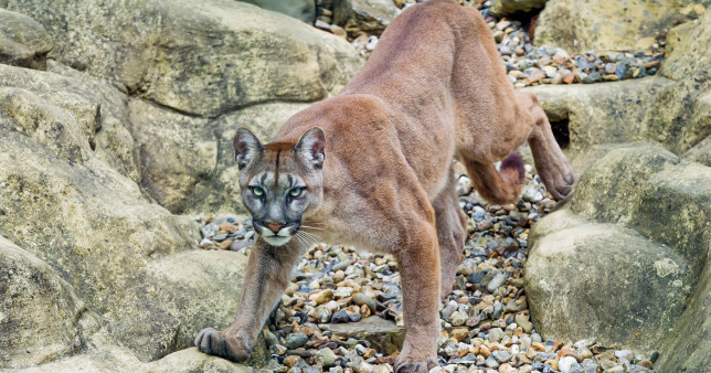 Hero mother punches mountain lion that dragged her 5-year-old son